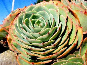 cactus-rose