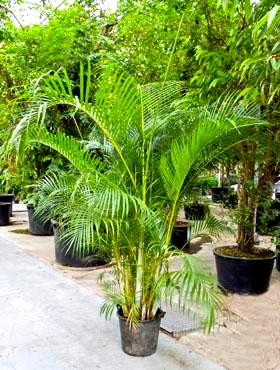 Areca%20chrysalidocarpus%20225%20cm