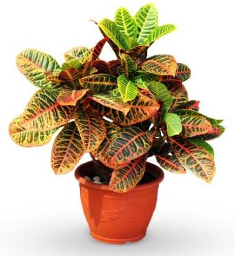 avasflowers-croton-petra-planter_max