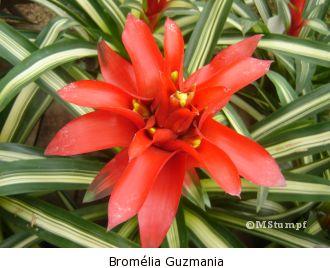 bromelia-em-extincao-no-brasil-1 guzmania