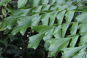 Fish Tail Palm, host plant for Tawny Palmfly