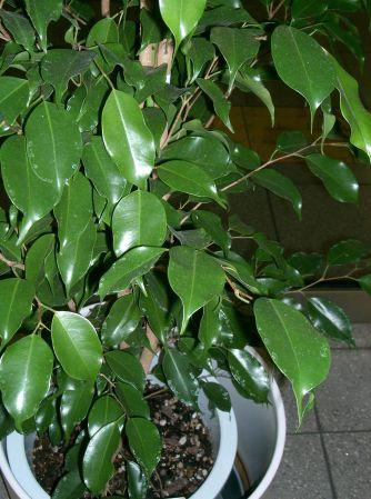 Ficus_benjamina2