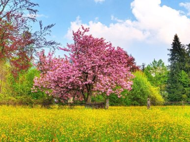 905960__spring-colors-japanese-cherry-blossom_p