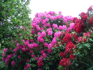Garden_with_Rhododendrons