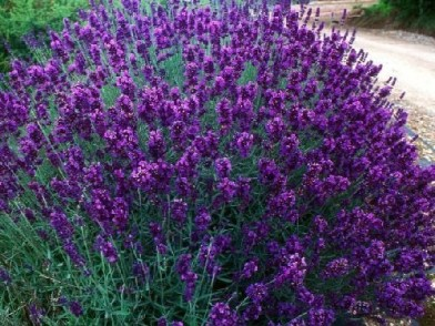 Lavendel-angustifolia-hidcote
