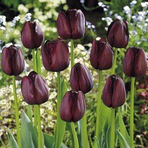 Tulip-black-diamond