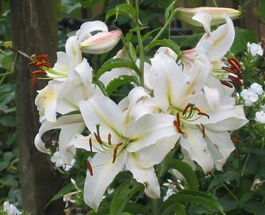 witte-tuinlelies