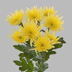 chrysanthemum-Delianne-Yellow-wholesale