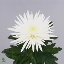 chrysanthemumanastasia