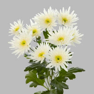 Delianne-white-tros-chrysant-wit-tak