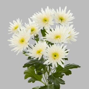 Delianne-white-tros-chrysant-wit-tak