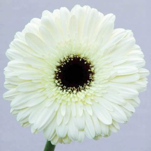gerbera-floraco-dalma