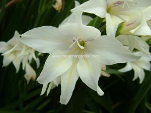 gladiolus_hybrid_x_the_bride_colvillei_2004_1