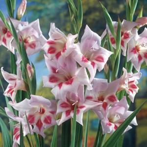 gladioluselvira