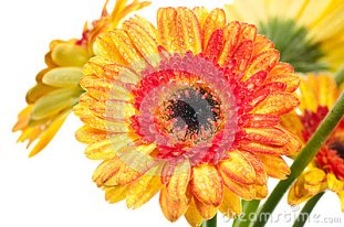 orange-yellow-gerbera-flower-extreme-close-up-24980916