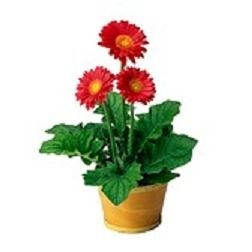 potted-gerbera-daisy-plant_365 thunder