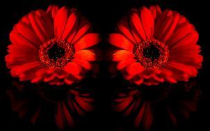 red-gerbera-daisies_015754 ferrari