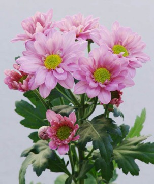 spray-chrysanthemum-floraco-reagan-improved