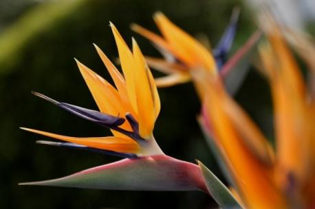 strelitzia-reginae-daniel-mosquin