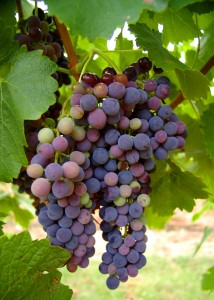 Weintrauben2-214x300