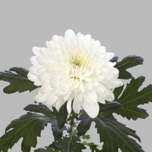 Zembla-pluis-chrysant-wit-tak