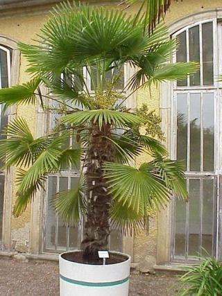 320px-Trachycarpus_Fortunei