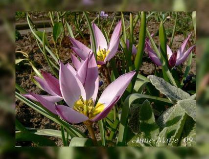 p1150726-botanische-tulp