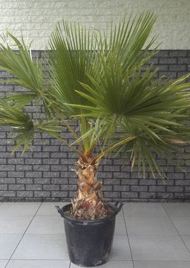 569cf79338-washingtonia-robusta