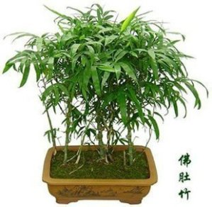 Bonsai-plants-bonsai-flower-indoor-ornamental-bamboo-bambusa-shape-bamboo-buddha