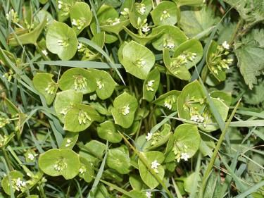 Claytonia perfoliata-witte winterpostelein-01