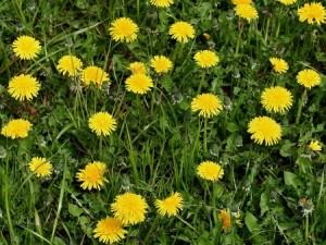 Taraxacum sp_gehele plant