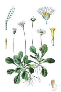 botanische-tekening-extragr-madeliefje