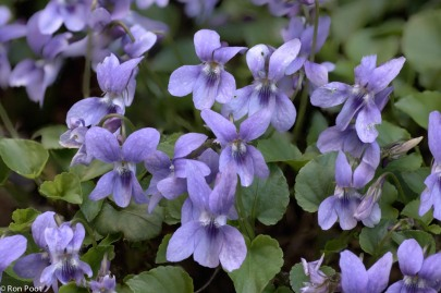 Macro opname van een groep Donkersporig bosviooltje; Close-up from a group Early Dog-violet.