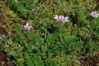 Erodium cicutarium ssp dunense 8, Duinreigersbek, Saxifraga-Willem van Kruijsbergen