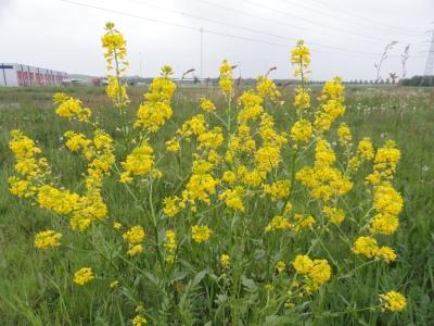 bloeiende-plant-gewoon-barbarakruid