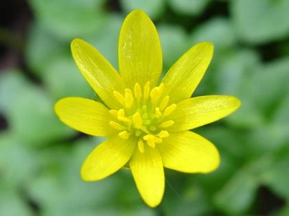 Ranunculus_ficaria-01_speenkruid1-I2