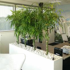 Bamboe Plant Binnen.De Bamboe Of Bambusa En De Chamaerops Humilis