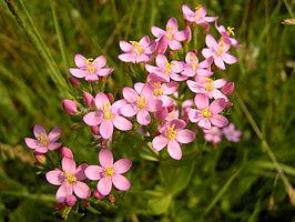 266px-centaurium_erythraea_flowers