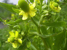 266px-ranunculussceleratus-bloem-hr