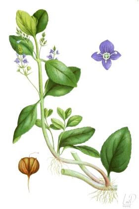 botanische-tekening-extragr-beekpunge
