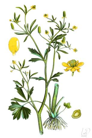 botanische-tekening-extragr-blaartrekkende-boterbloem