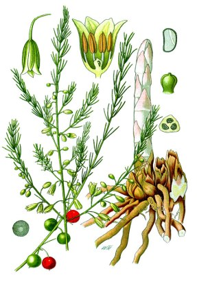 botanische-tekening-gr-asperge