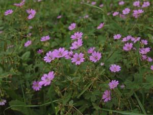 geranium-pyrenaicum-bermooievaarsbek-02