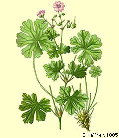 geranium-pyrenaicum