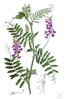 botanische-tekening-extragr-bonte-wikke