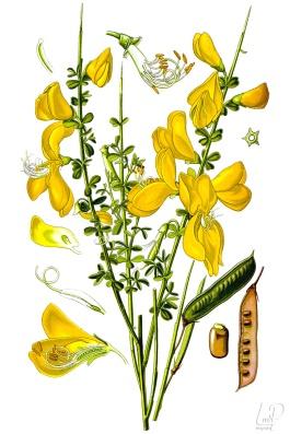 botanische-tekening-extragr-brem