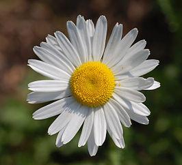 266px-leucanthemum_vulgare_filigran_flower_2200px