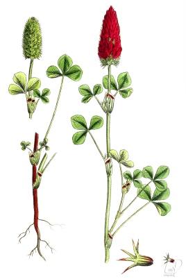 botanische-tekening-extragr-inkarnaatklaver