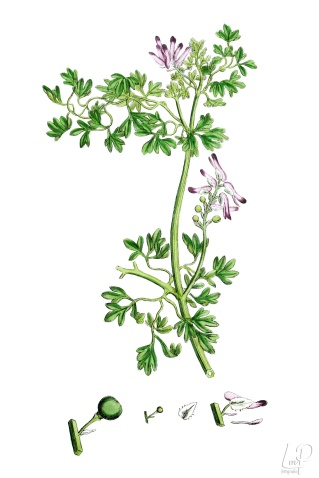 botanische-tekening-extragr-middelste-duivenkervel