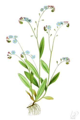 botanische-tekening-extragr-moerasvergeet-me-nietje